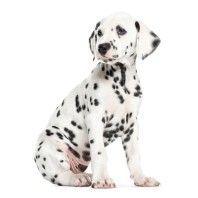 KEK Amsterdam Dalmatian Puppy XL muursticker
